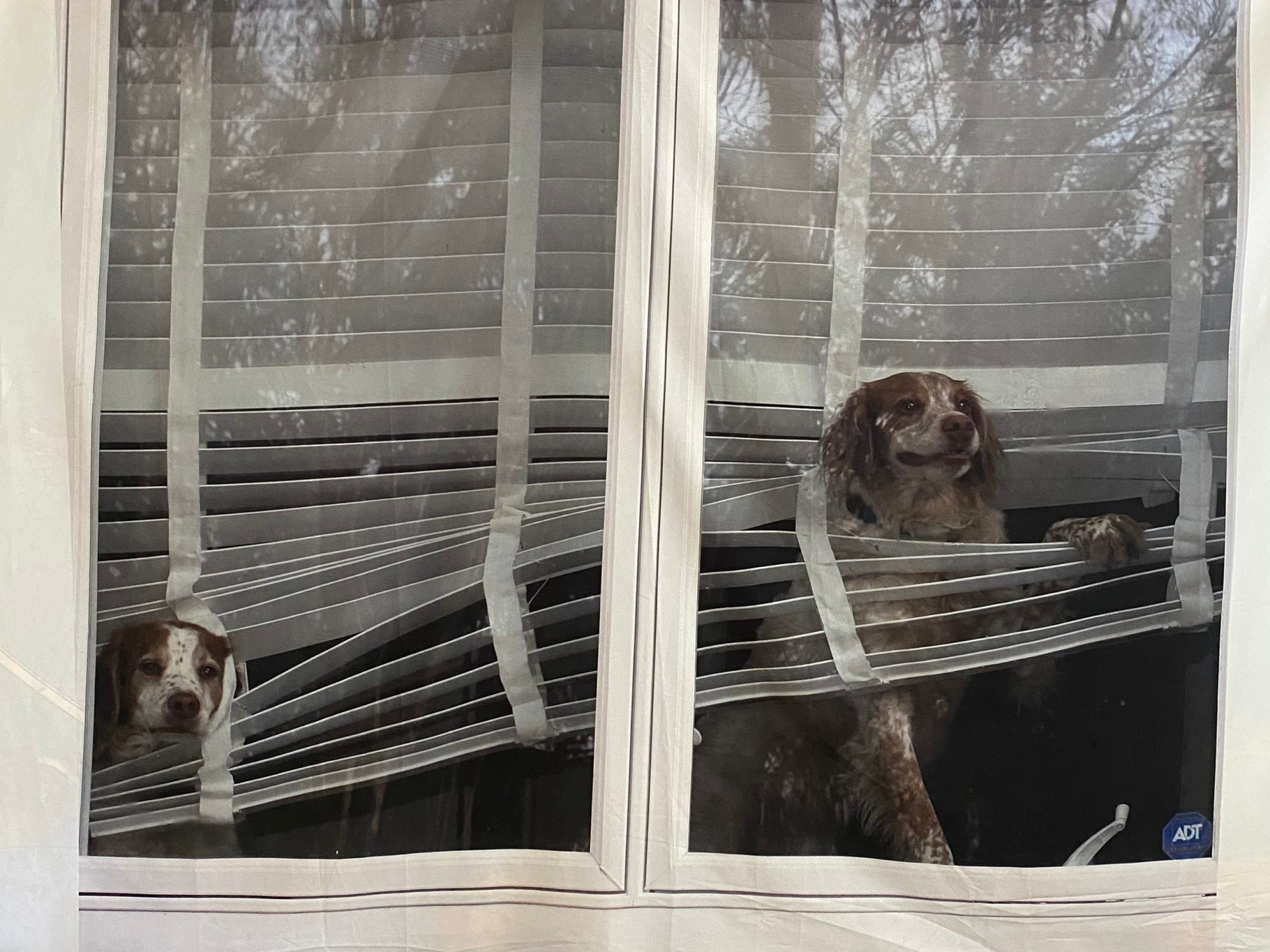 Dogs looking out window entwined in teh blinds